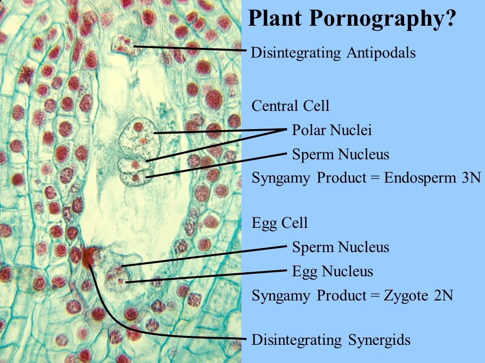 Plant Pornography Disintegrating Antipodals Central Cell Polar Nuclei