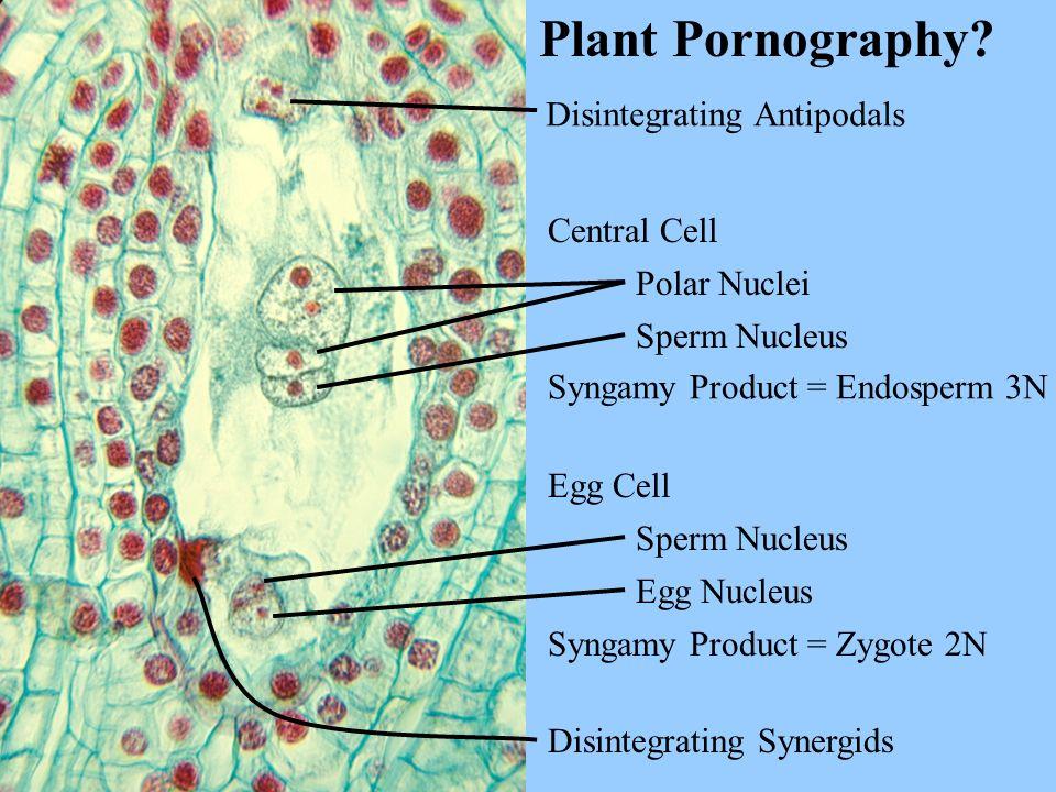 Plant Pornography Disintegrating Antipodals Central Cell Polar Nuclei