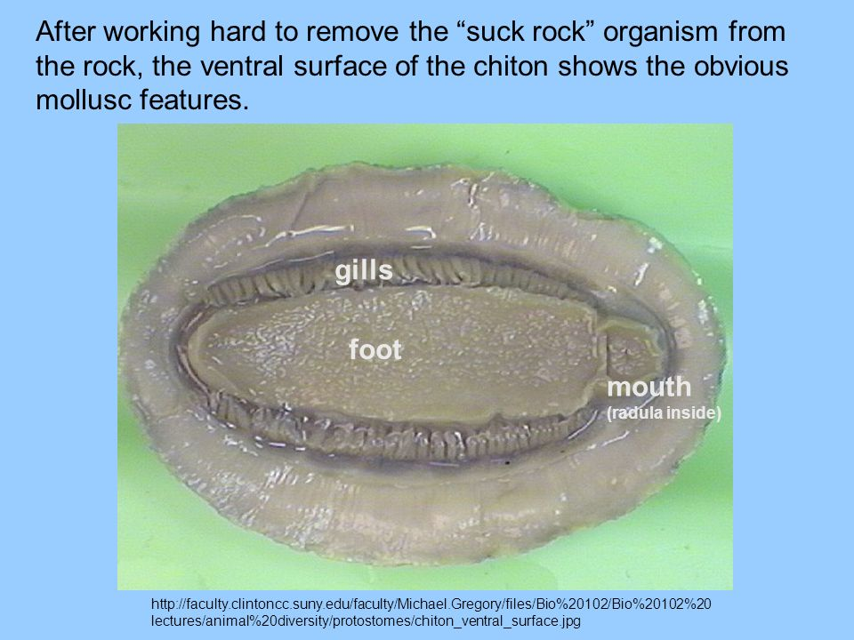 After working hard to remove the suck rock organism from the rock, the ventral surface of the chiton shows the obvious mollusc features.