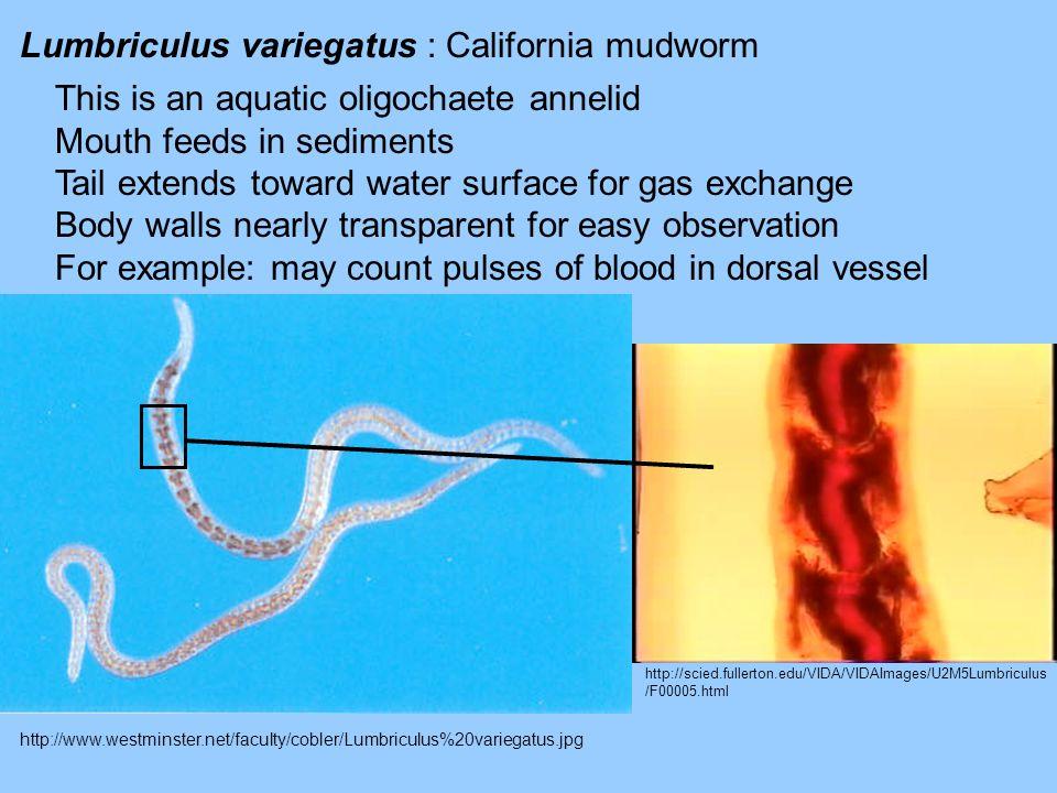 Lumbriculus variegatus : California mudworm