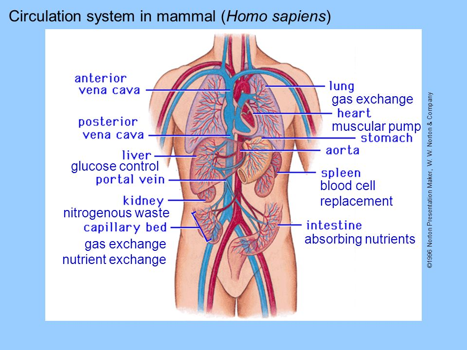 Circulation system in mammal (Homo sapiens)