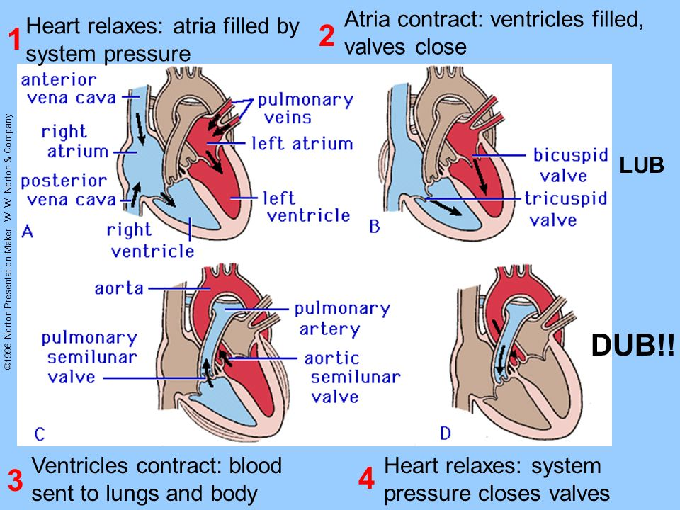 2 1 DUB!! 3 4 Atria contract: ventricles filled, valves close