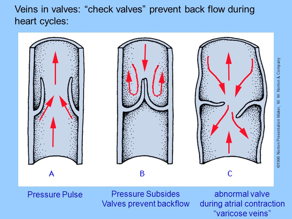 Veins in valves: check valves prevent back flow during heart cycles: