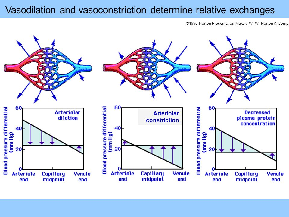 Vasodilation and vasoconstriction determine relative exchanges
