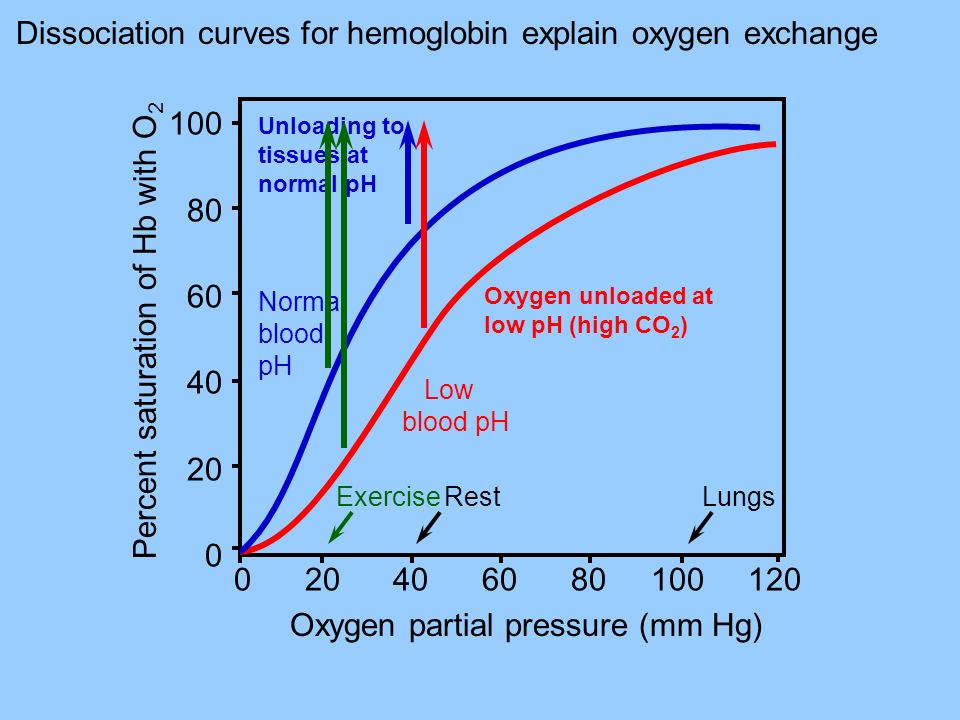 Dissociation curves for hemoglobin explain oxygen exchange