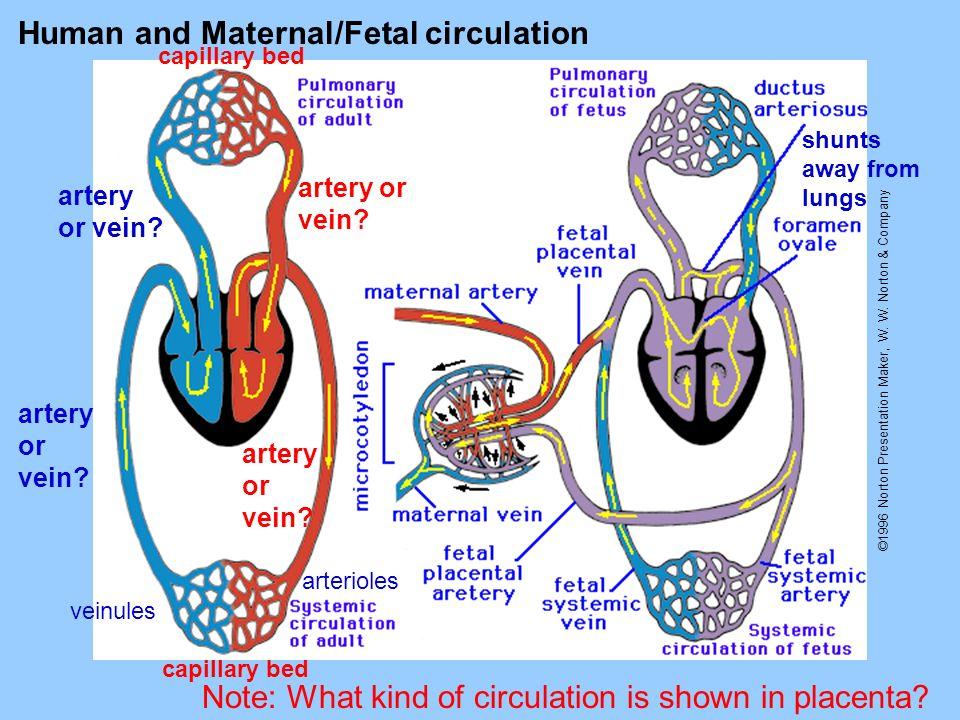 Human and Maternal/Fetal circulation
