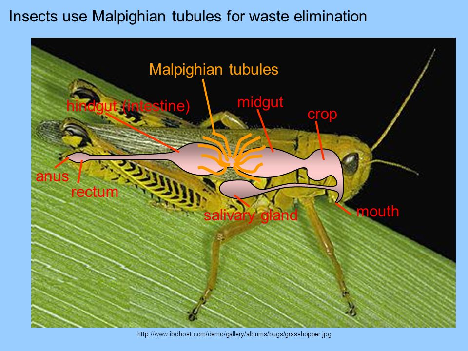 Insects use Malpighian tubules for waste elimination