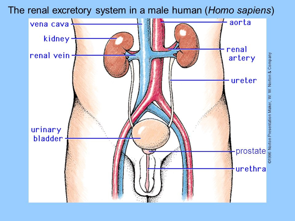 The renal excretory system in a male human (Homo sapiens)