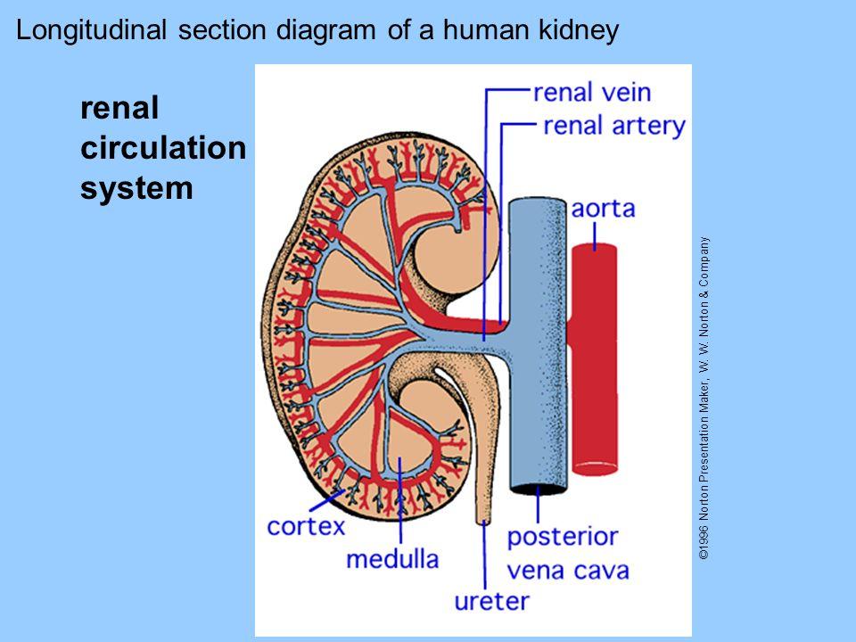renal circulation system