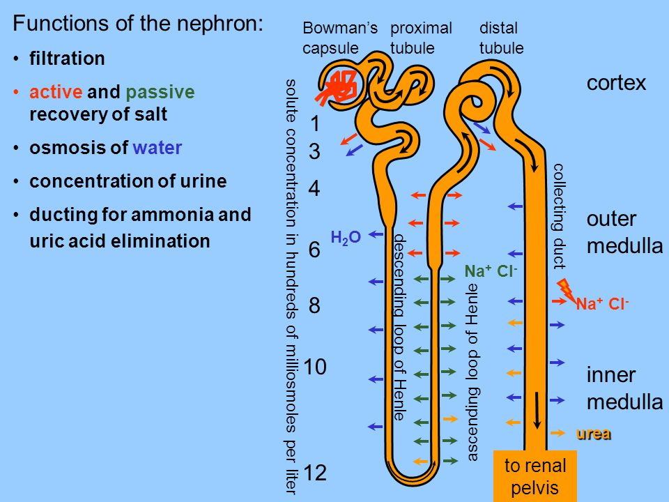 Functions of the nephron: