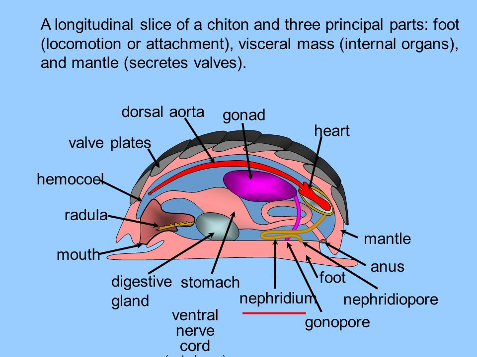 A longitudinal slice of a chiton and three principal parts: foot (locomotion or attachment), visceral mass (internal organs), and mantle (secretes valves).