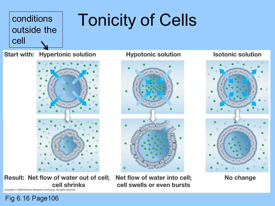 Tonicity of Cells conditions outside the cell Fig 6.16 Page106