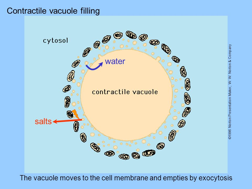 The vacuole moves to the cell membrane and empties by exocytosis