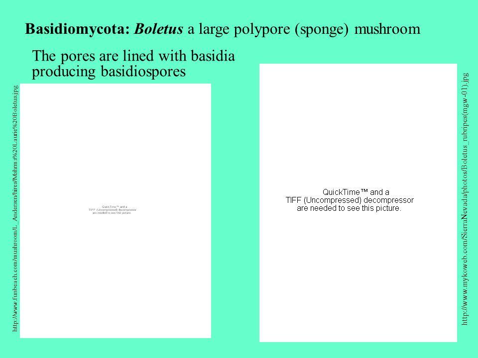 Basidiomycota: Boletus a large polypore (sponge) mushroom