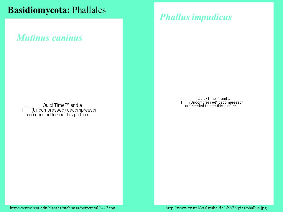 Basidiomycota: Phallales Phallus impudicus