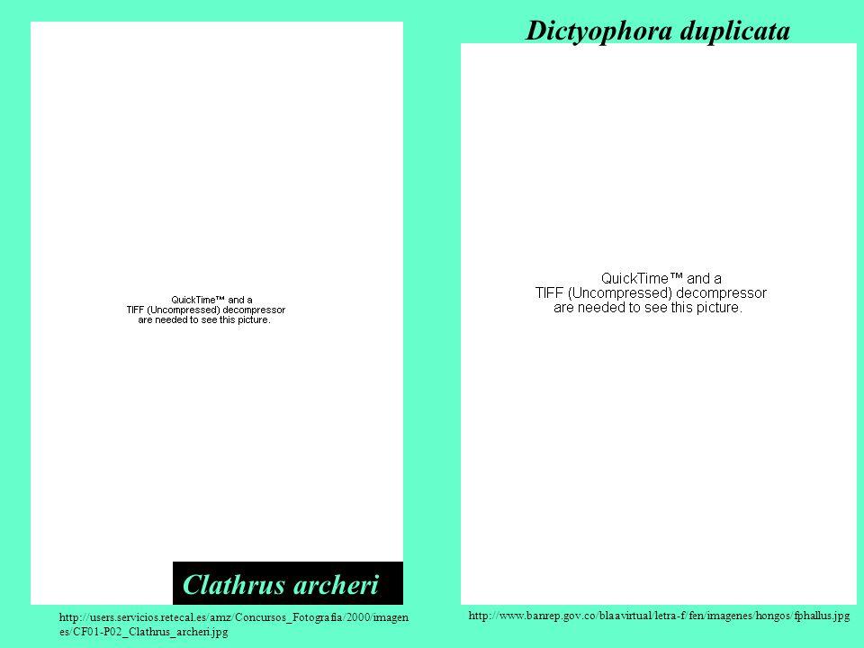 Dictyophora duplicata