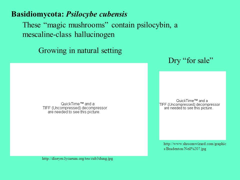 Basidiomycota: Psilocybe cubensis