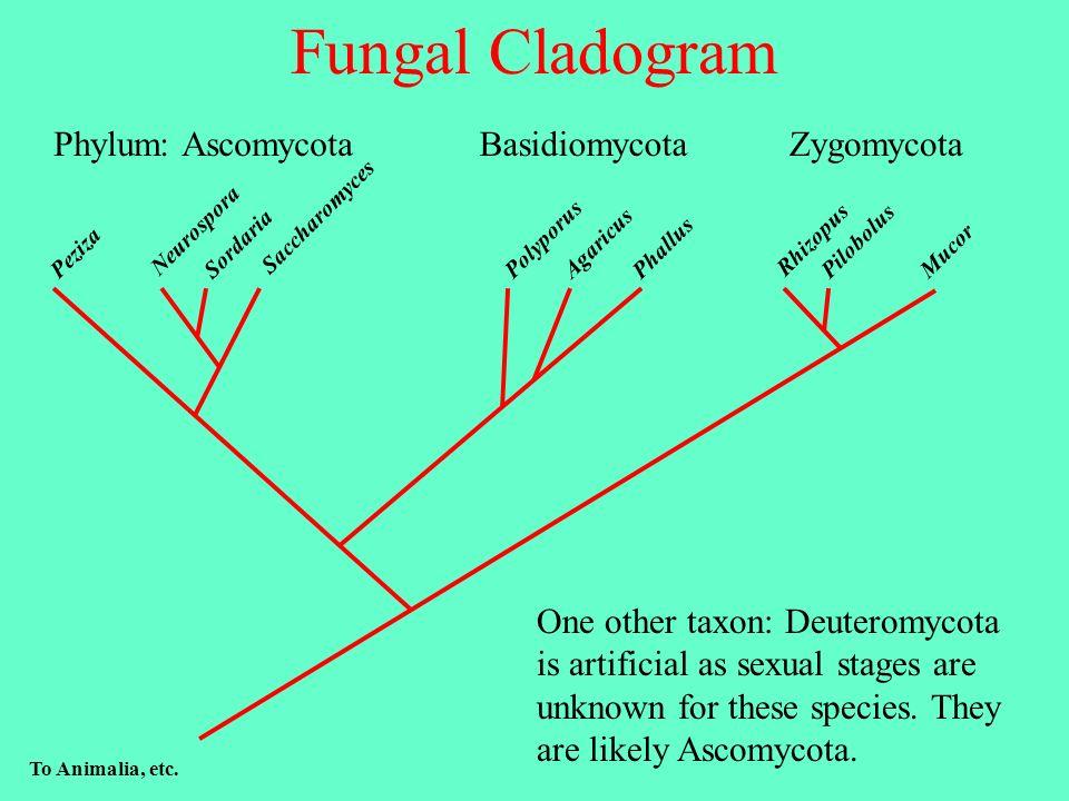 Fungal Cladogram Phylum: Ascomycota Basidiomycota Zygomycota