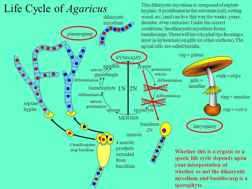 4 basidiospores atop basidium