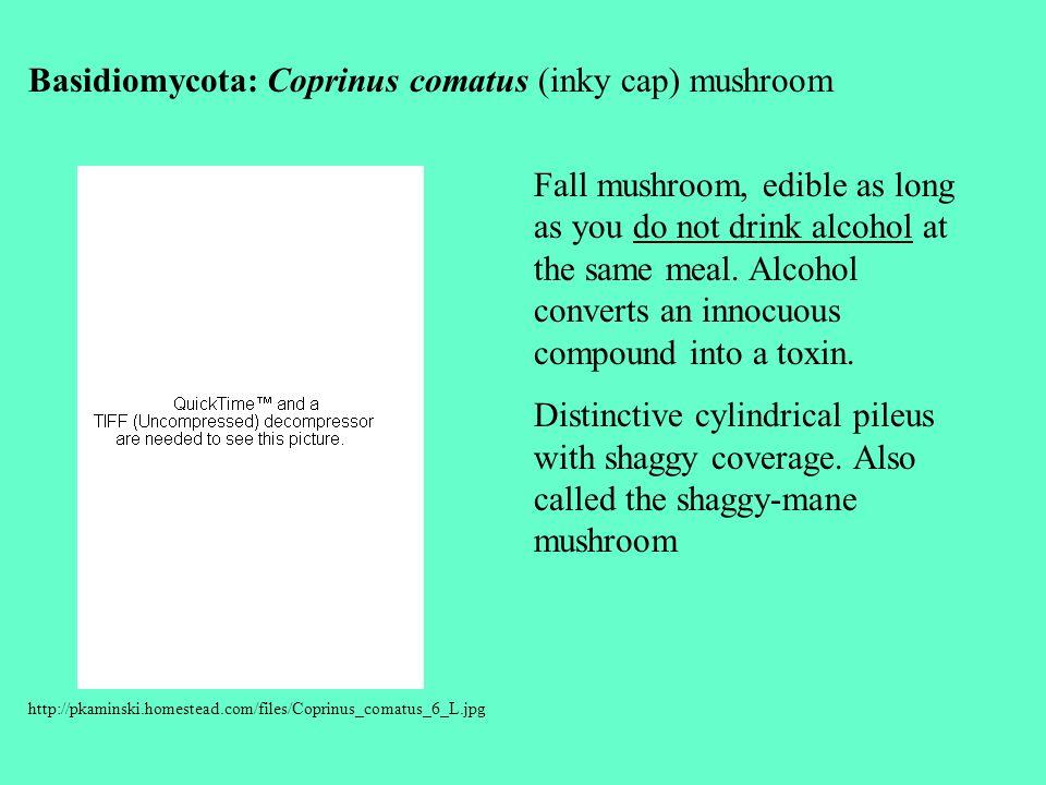 Basidiomycota: Coprinus comatus (inky cap) mushroom