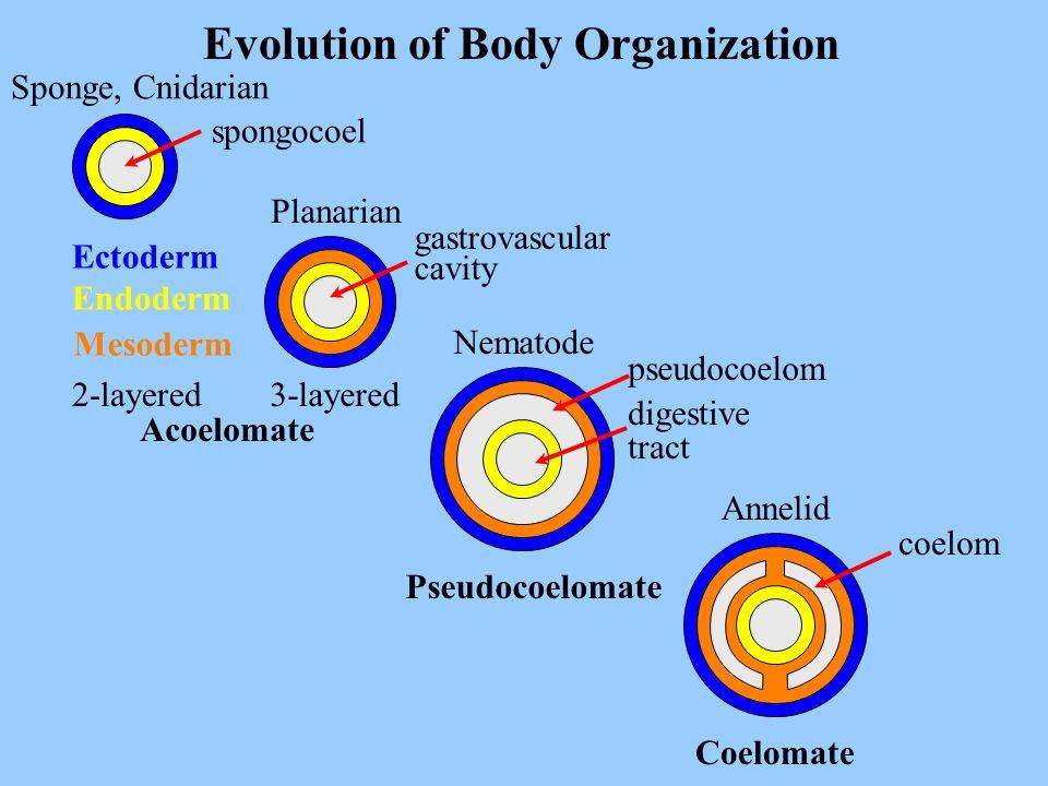 Evolution of Body Organization