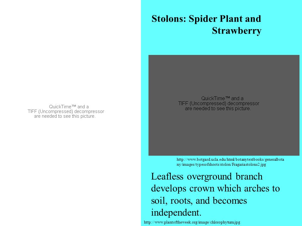Stolons: Spider Plant and Strawberry