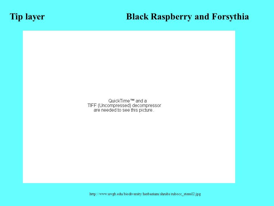 Black Raspberry and Forsythia