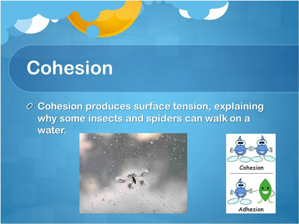 Cohesion Cohesion produces surface tension, explaining why some insects and spiders can walk on a water.