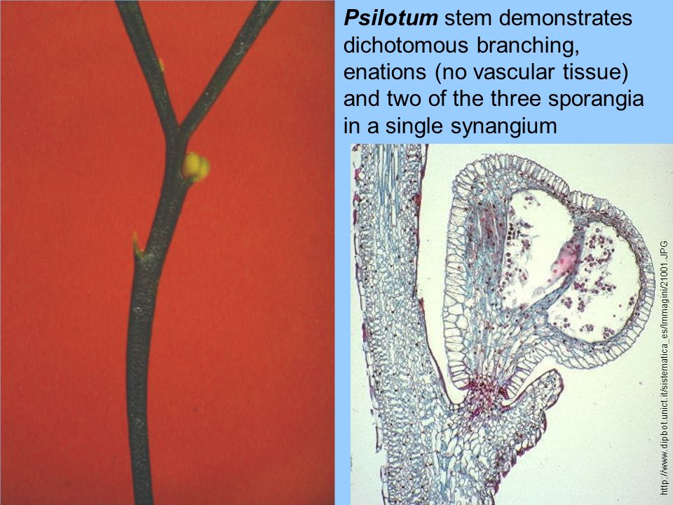 Psilotum stem demonstrates dichotomous branching, enations (no vascular tissue) and two of the three sporangia in a single synangium