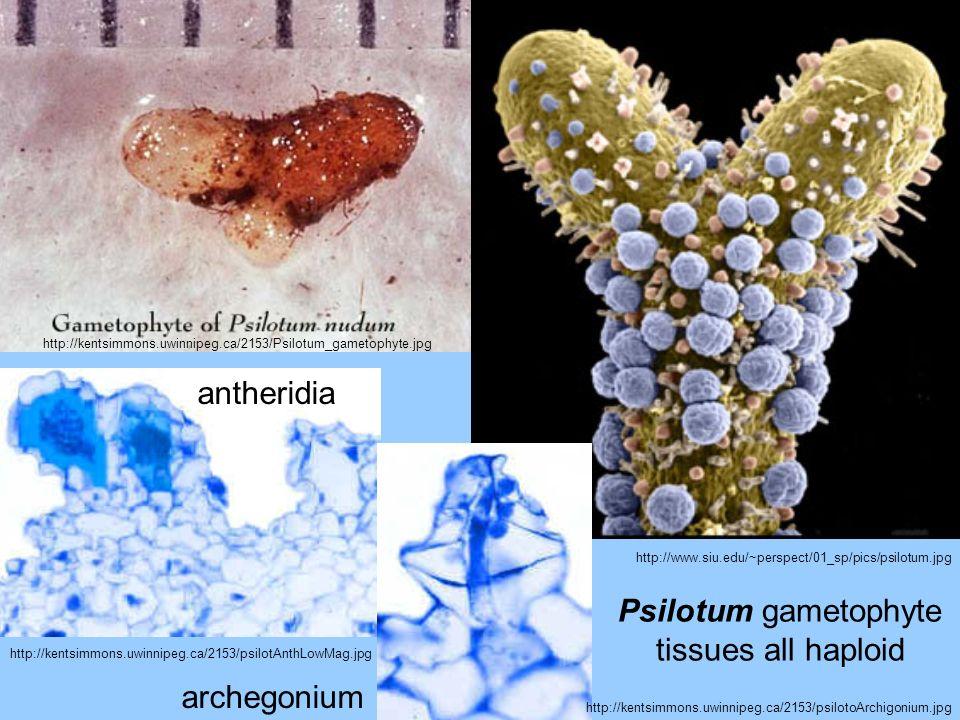 Psilotum gametophyte tissues all haploid