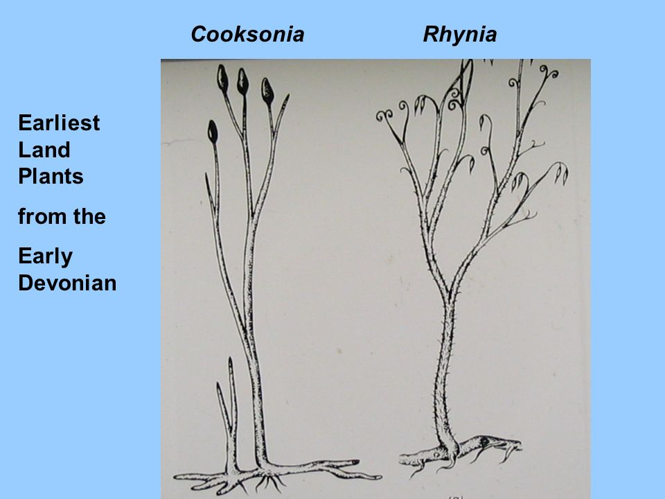 Cooksonia Rhynia Earliest Land Plants from the Early Devonian