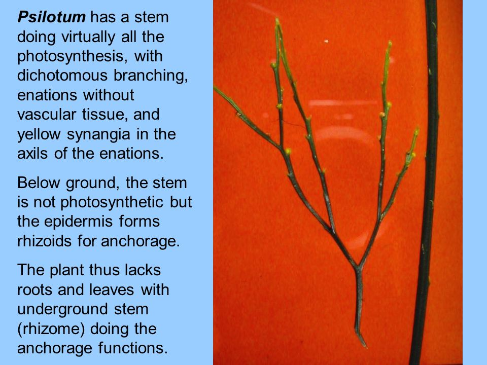 Psilotum has a stem doing virtually all the photosynthesis, with dichotomous branching, enations without vascular tissue, and yellow synangia in the axils of the enations.