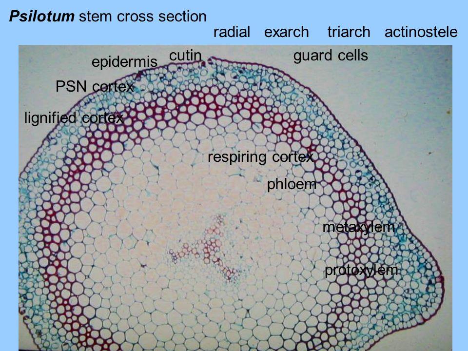 Psilotum stem cross section