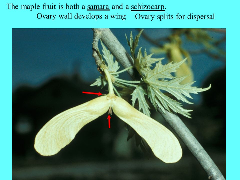 The maple fruit is both a samara and a schizocarp.