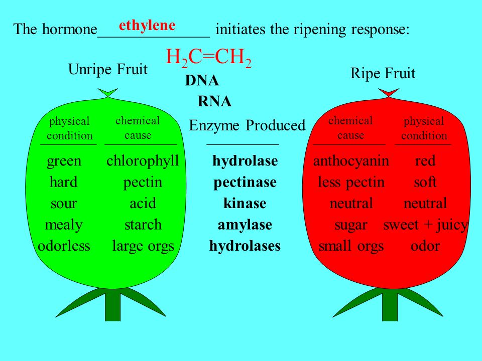 ethylene The hormone______________ initiates the ripening response: H2C=CH2. Unripe Fruit. Ripe Fruit.