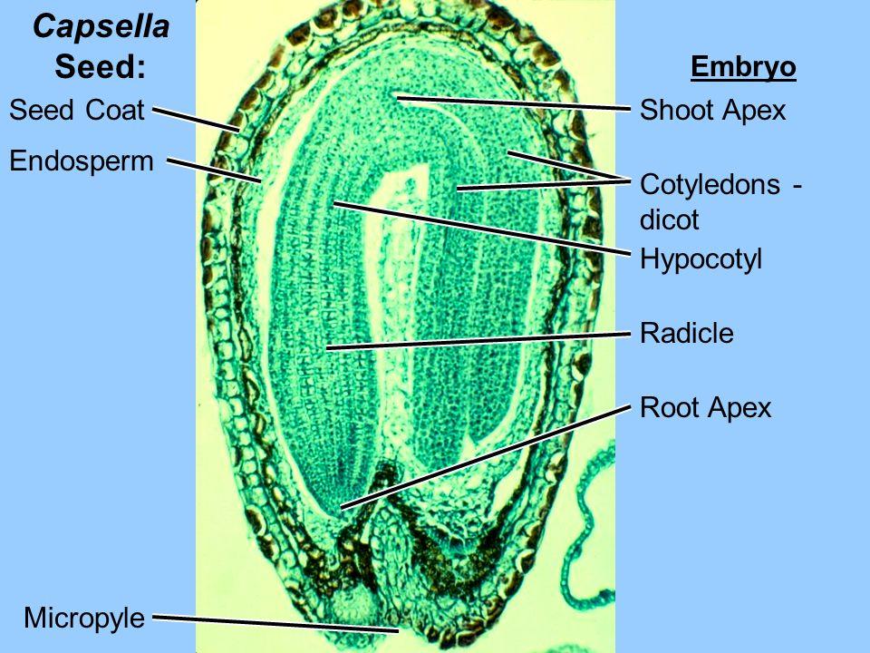 Capsella Seed: Embryo Seed Coat Shoot Apex Endosperm