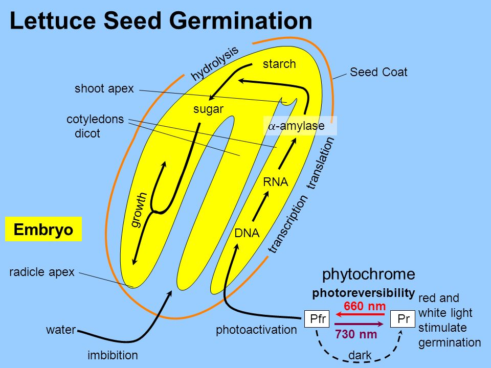 Lettuce Seed Germination Embryo phytochrome hydrolysis starch