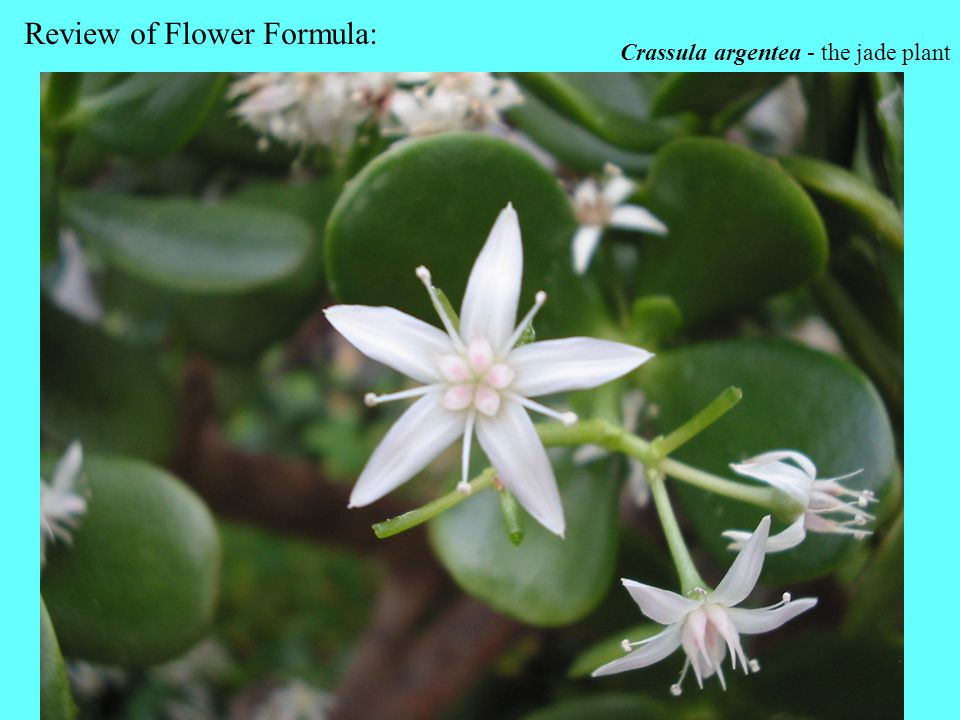 Review of Flower Formula: