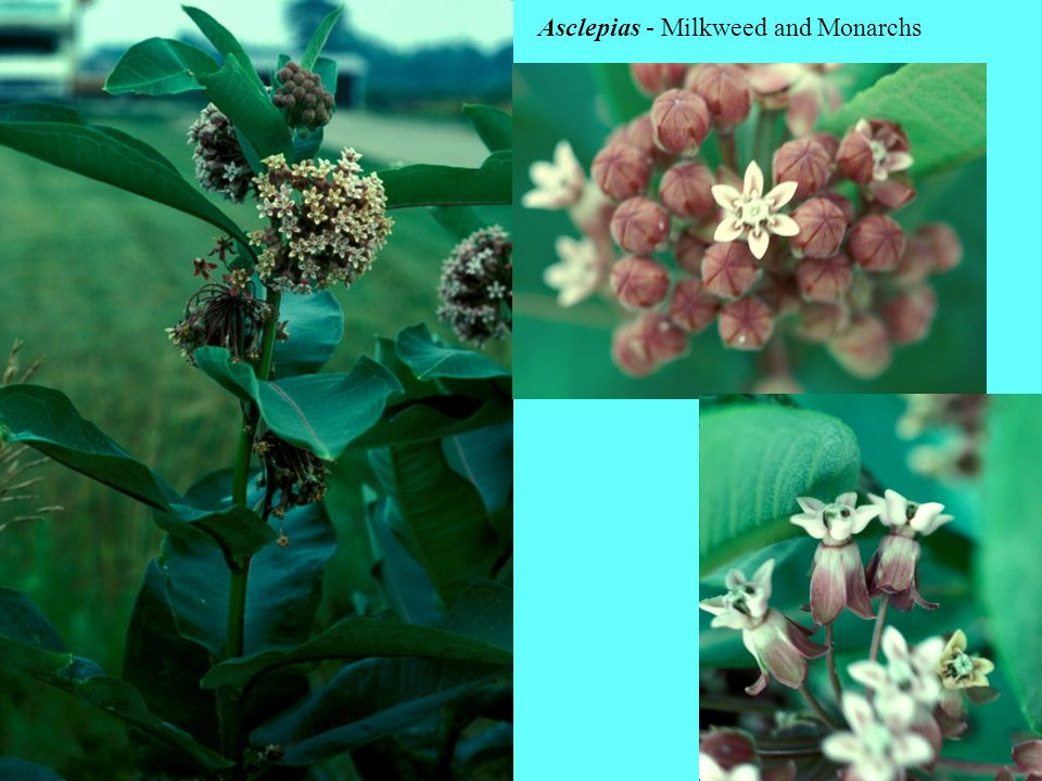 Asclepias - Milkweed and Monarchs