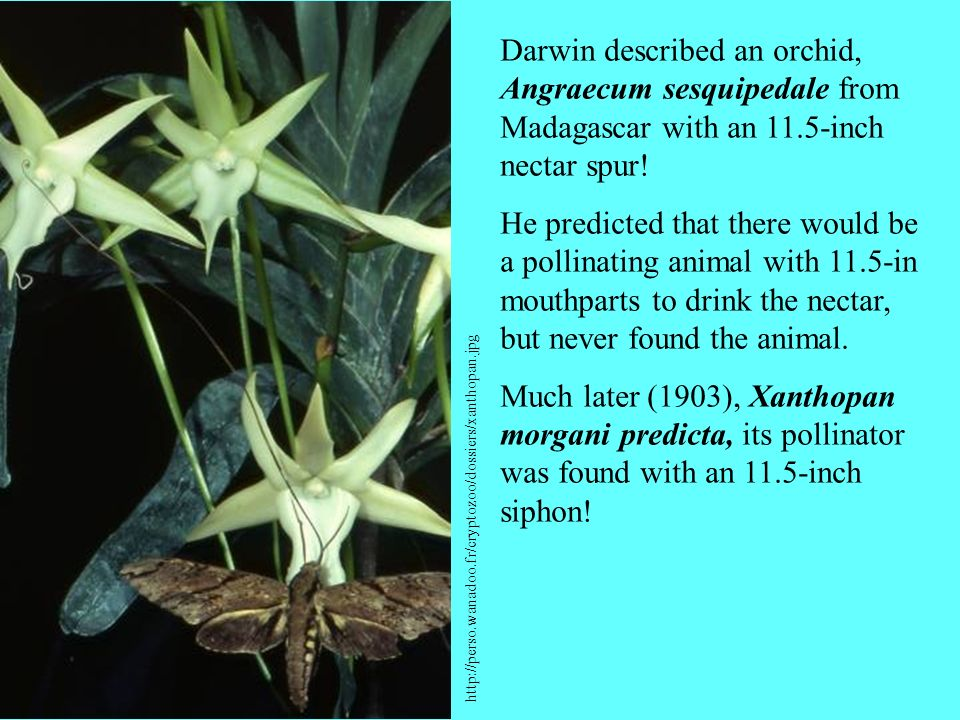 Darwin described an orchid, Angraecum sesquipedale from Madagascar with an 11.5-inch nectar spur!