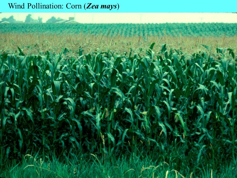 Wind Pollination: Corn (Zea mays)