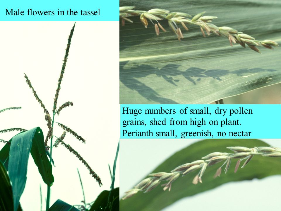 Male flowers in the tassel
