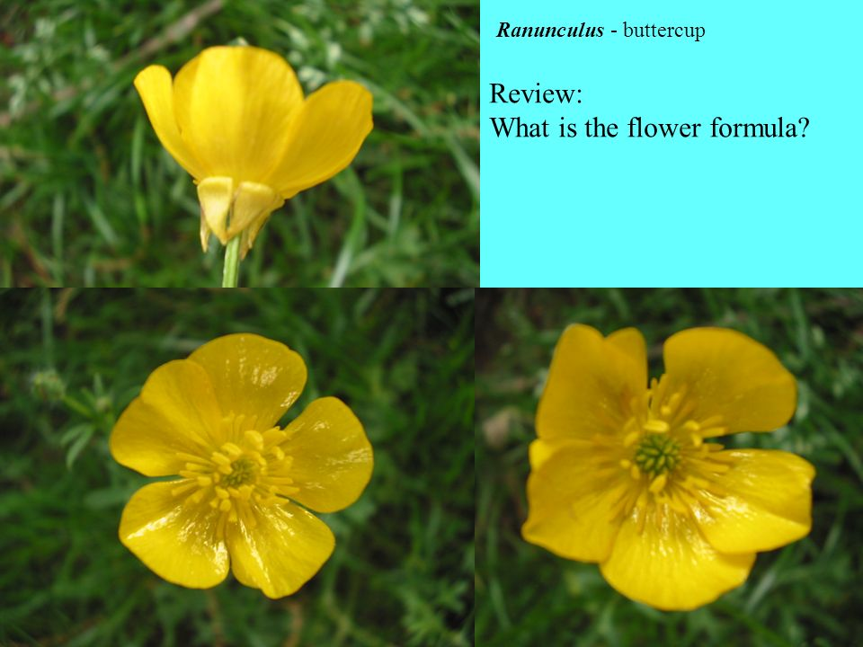 What is the flower formula