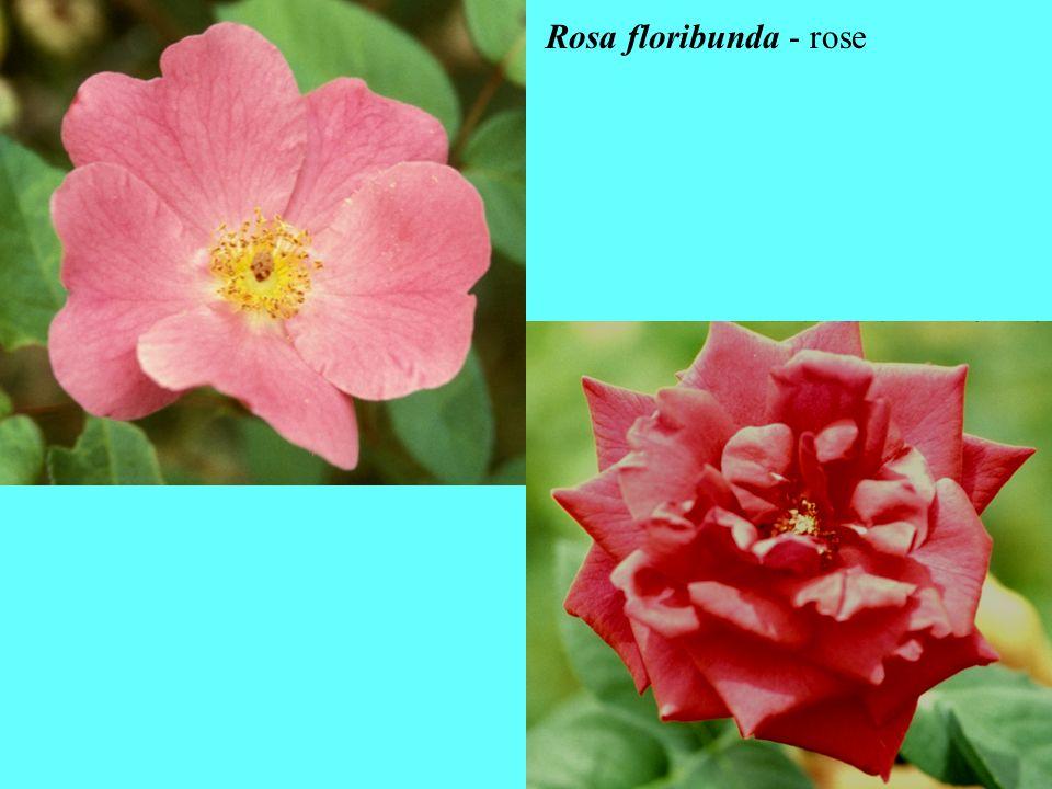 Rosa floribunda - rose