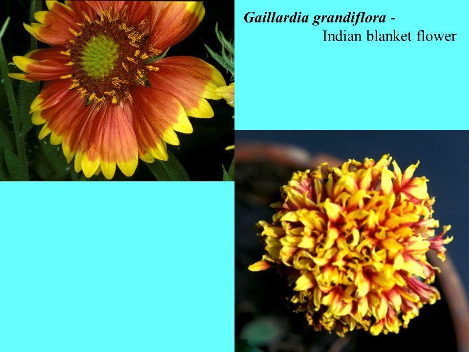 Gaillardia grandiflora -