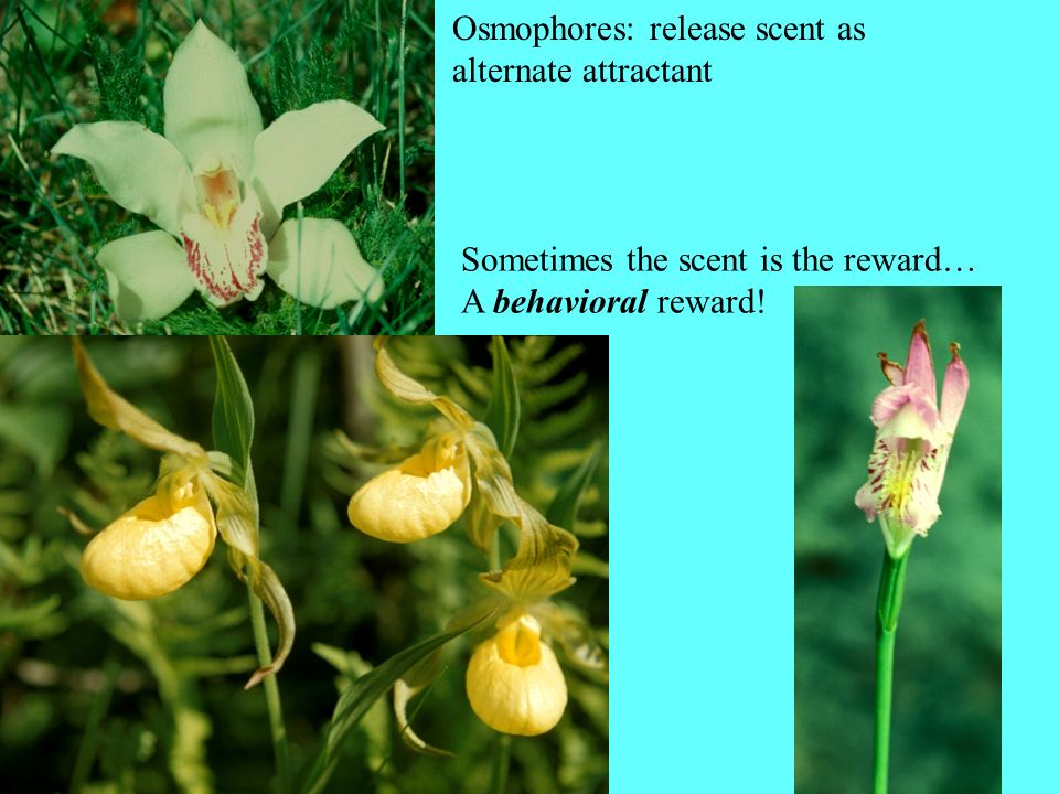 Osmophores: release scent as alternate attractant