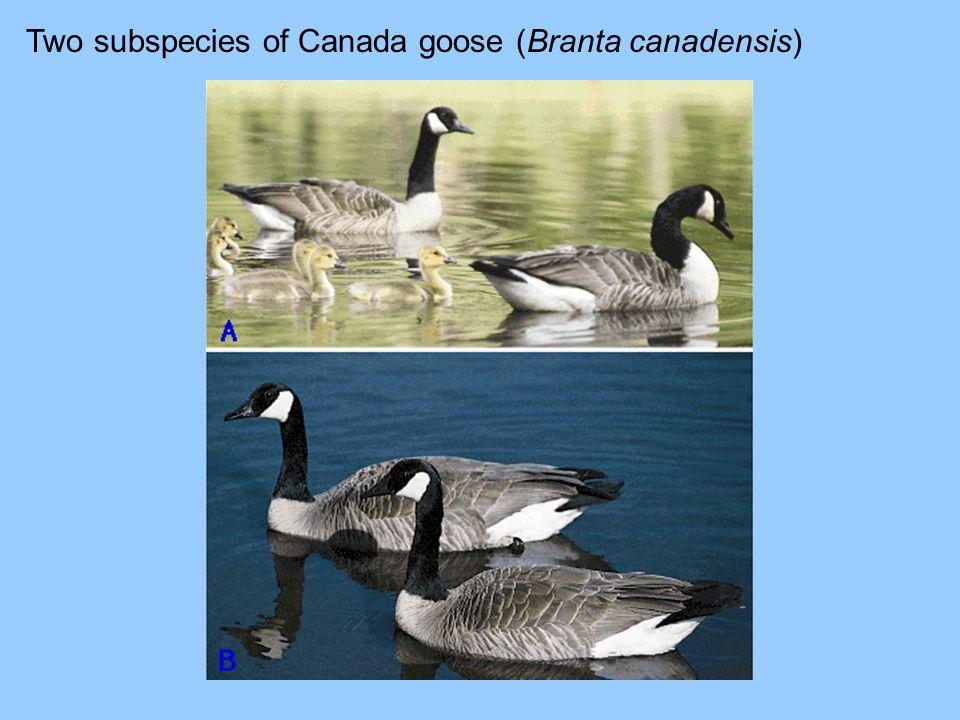 Two subspecies of Canada goose (Branta canadensis)