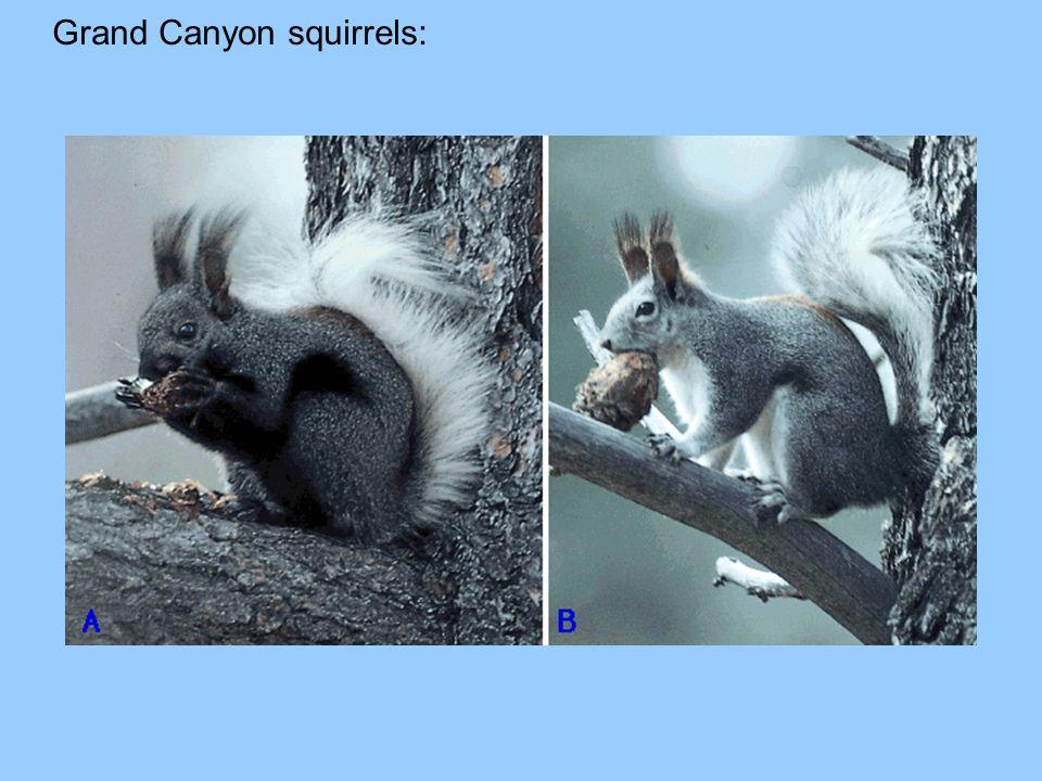Grand Canyon squirrels: