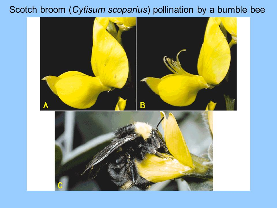 Scotch broom (Cytisum scoparius) pollination by a bumble bee