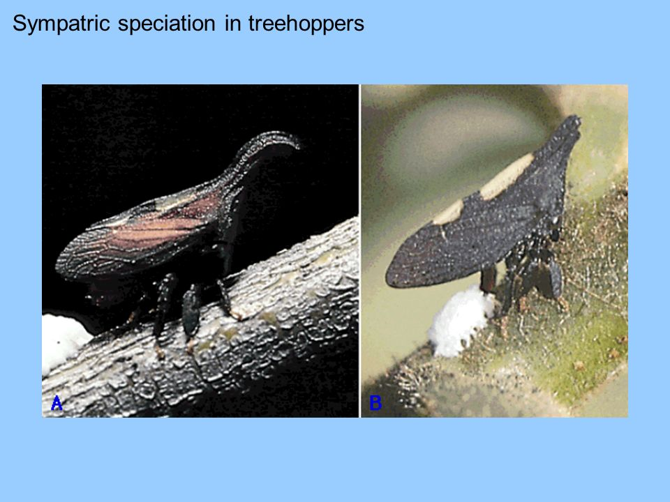Sympatric speciation in treehoppers
